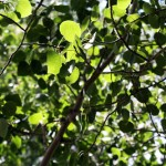 aspenleaves