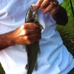 whitfish