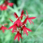 zionredflowers