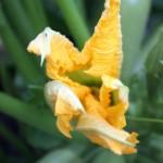 zucchiniflower